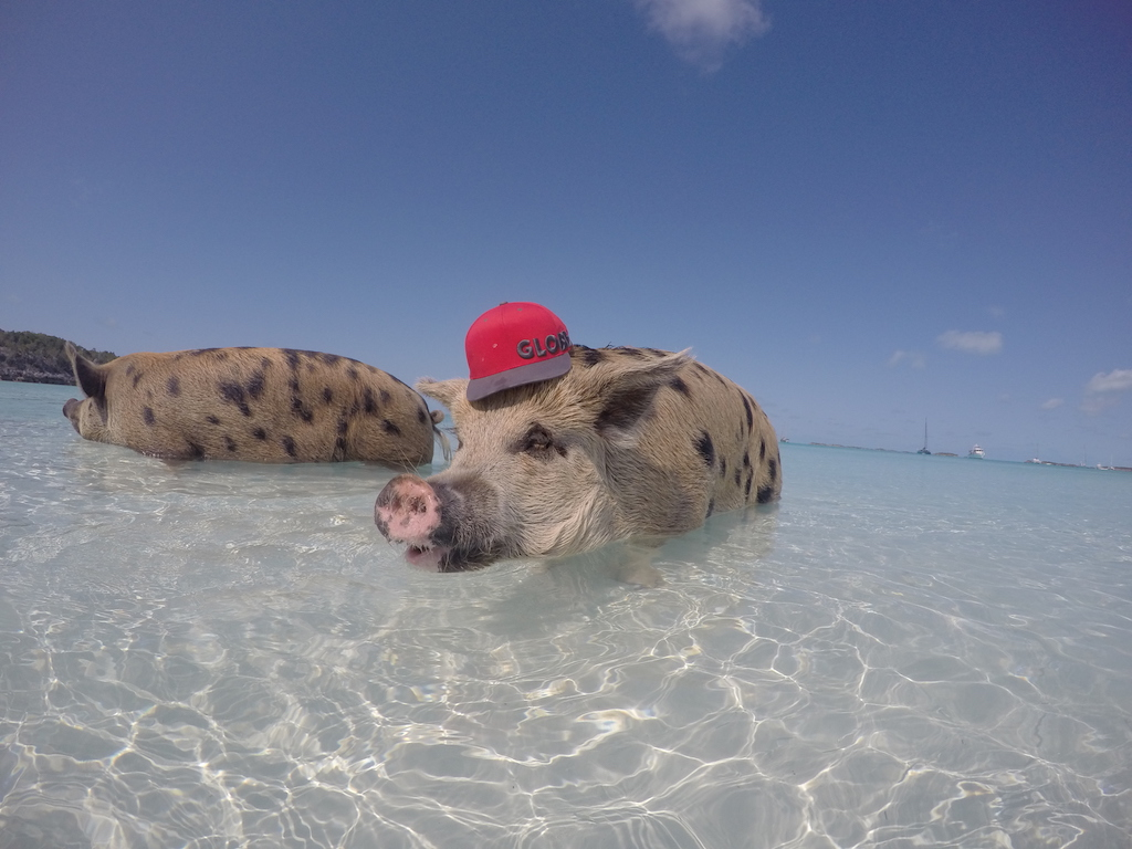 Pigs at Stanley Cay