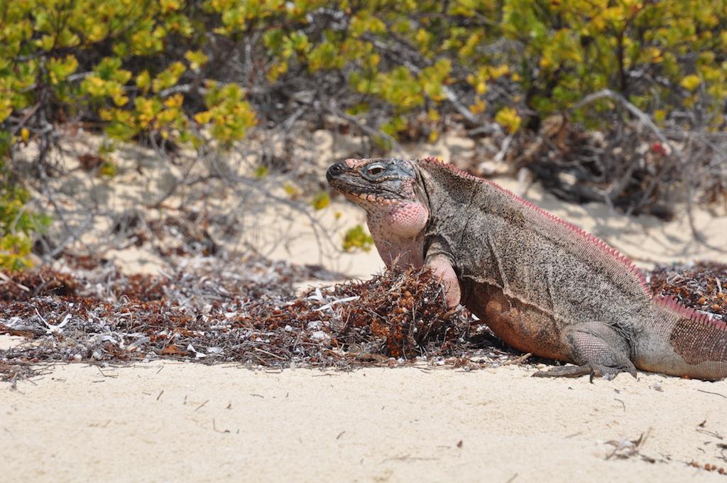 Iguana Allan Cay - Bahamas 2016 (3)