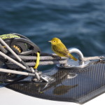 Yellow friends - little bird on trip to Maine