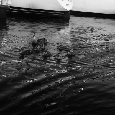 more ducks in Boston Harbor