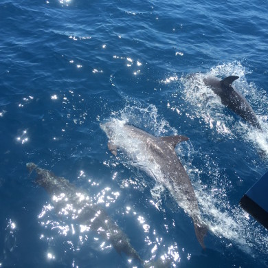 Dolphins are playing at the bows