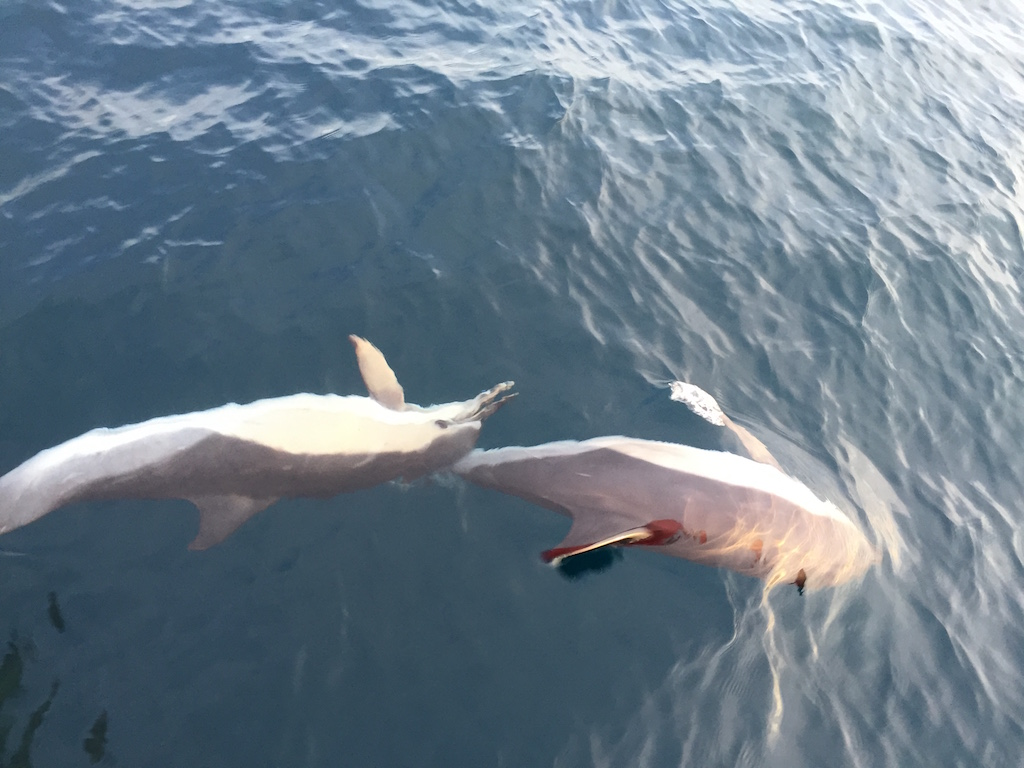 Transat Dolphins Playing