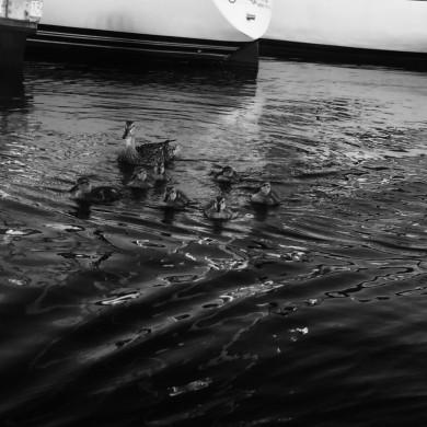more ducks in Boston Harbor